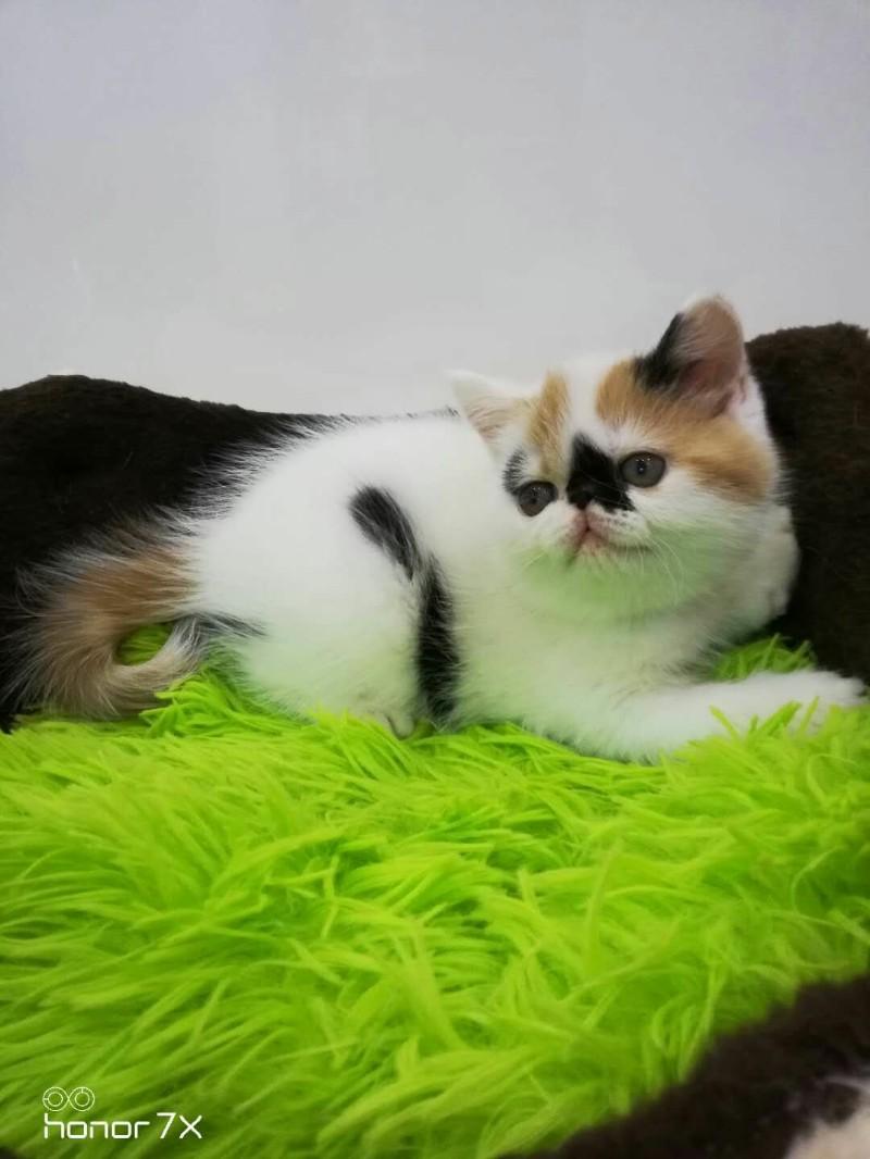 美国CFA注册猫舍,血统纯正