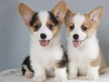 汕头龙湖出售宠物狗,柯基幼犬狗狗出售,包纯种,包健康