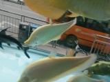 鹦鹉鱼大小规格 大量观赏鱼