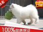微笑天使 熊版萨摩耶 雪橇犬 萌宠狗狗 自家繁殖