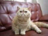 深圳加菲猫怎么卖的深圳最好的加菲猫要多少钱深圳哪里有猫舍