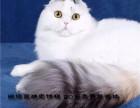 猫舍出售超级可爱 小折耳 物超所值-值得拥有