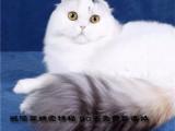 折耳猫 可信赖的宠物猫舍平台-精品折耳猫
