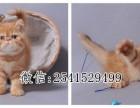昆明哪有加菲猫卖 多少钱一只幼崽