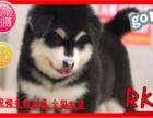 送心上人红色黑色阿拉斯加犬包纯种保健康买垃圾狗别找我