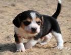 比格犬 专业繁殖 包品质 欢迎实地挑选