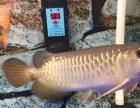 观赏鱼高背金龙鱼