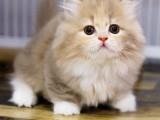 里出售纯种美国虎斑短毛猫纯种美国虎斑短毛猫