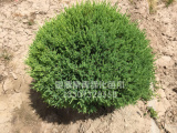 苗木价格想买品种好的刺柏上哪