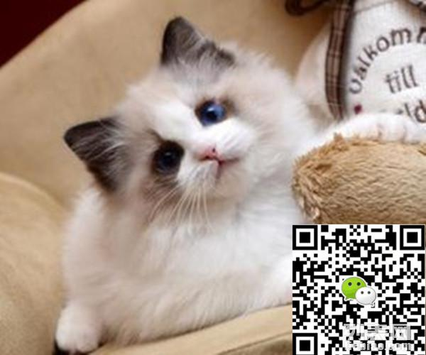 小贴士:布偶猫好可爱信息由列表网网友发布,其真实性及合法性由发布