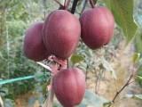 红梨树苗 梨树苗基地 批发梨树苗 新品种梨树苗供应