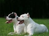懷化正規靠譜犬舍長期出售馬犬 黑狼犬 德國牧羊犬 東德牧羊犬
