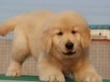 自家大狗生了一窝金毛犬可以上门看狗父母