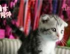 出售精品折耳猫 蓝白折耳银渐层颜色公母都有