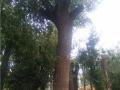 22公分移栽发帽国槐树哪里有多少钱一棵