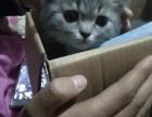 可爱的英短虎斑猫无病无癣非常粘人