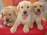 精品拉布拉多幼犬超可爱多导盲, 包健康 签