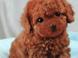 沈阳出售纯种健康泰迪熊犬幼犬包健康签协议