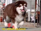 巨型阿拉斯加 北京正规狗场出售赛级阿拉斯加