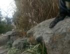 宝山虎斑斗牛犬宠物配种 800元黑色虎斑法国斗牛犬