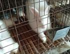 出售兔子 长毛兔 獭兔