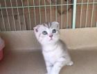 专业繁殖苏格兰银虎斑大头折耳猫 幼猫 保健康公母均