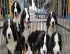 品质的伯恩山幼犬出售了 疫苗做完 质量三包