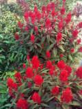 烟台鸡冠花-想买优质的鸡冠花,就到昌盛花卉苗木