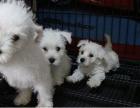 上海哪里能买到便宜健康的西高地宠物狗狗
