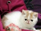 专业繁殖基地出售加菲猫幼猫品种齐全实拍多选健康纯