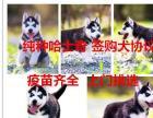 郑州大型狗场出售哈.士奇二哈狗雪橇犬包健康签协议
