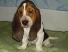 台州哪有巴吉度猎犬卖 巴吉度猎犬价格 台州巴吉度猎犬多少钱