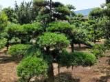 批发优质罗汉松造型树造型罗汉松 多少钱一棵