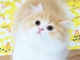 纯种宠物猫咪高地长毛拿破仑短腿猫