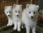 银狐犬多少钱 哪里可以买到银狐幼犬