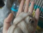 松鼠到货 魔王 鹦鹉 兔子 荷兰猪 仓鼠 龙猫等等