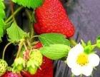 冬日暖洋洋,新鲜草莓采摘了