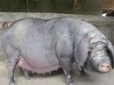 供应太湖母猪、二元母猪、二元仔猪、苗猪、