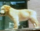 哈尔滨雪地狼族犬业双血统金毛出售