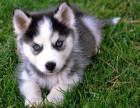 专业繁殖基地出售哈士奇幼犬 可以上门看种犬选购