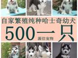 纯种哈士奇幼犬 常年销售 包养活 上门优惠 包健康 包纯种