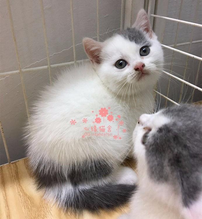 兰州蓝猫多少钱 兰州哪里出售的蓝猫幼犬价格较便宜