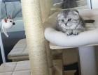 精品英短蓝猫蓝白 公母折耳立耳都有