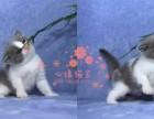 青岛哪里的蓝猫较便宜多少钱一只 青岛哪里有几百块钱蓝猫