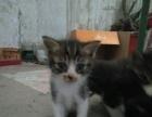 出售自家猫下的小猫每支三十