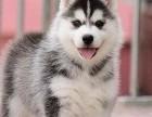 北京国泰宠物狗场出售哈士奇犬2000到20000元