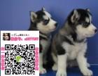 上海哈士奇雪橇犬幼犬市场 买卖双蓝眼三把火哈士奇宠物狗