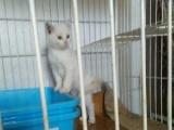 三月可爱波斯猫…