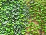 常春藤种植基地 价格合理的常春藤东骏花卉供应