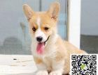 本地犬舍-出售柯基犬-颜色齐全-包活-包健康